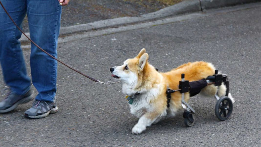 Things-You-Need-To-Know-About-Dog-Wheelchairs-on-servicetrending